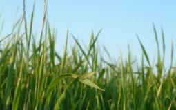 Suikerrijk gras niet goed voor gewicht.